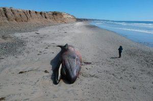 Profepa encuentra ballena gris y orca muertas en Baja California