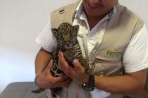 Profepa asegura un cachorro de Jaguar en Pachuca