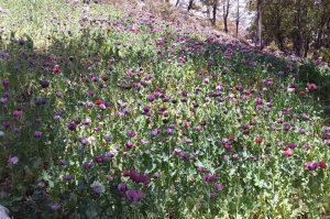 Destruyen sembradío de amapola en municipio de Chihuahua