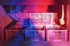 Caen dos ladrones con mil 600 kilos de aguacate en Uruapan